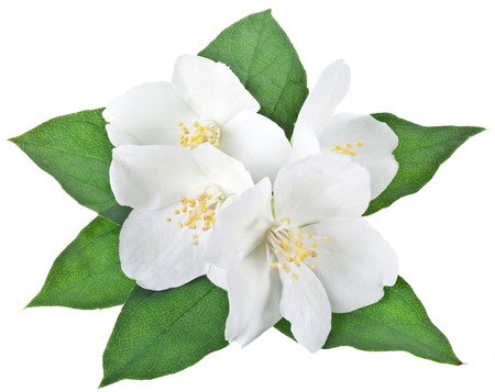 ornamental plant: Blooming jasmine flower with leaves. File contains clipping path.