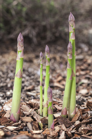 shoots: Proceso de crecimiento de los brotes de esp�rragos.