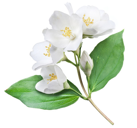 Blooming jasmine flower with leaves isolated on a white background. Clipping path. Stock Photo