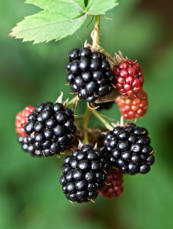 Dewberries on a shrub. Macro shot. photo