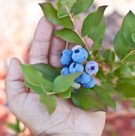 Blueberries in the mans hands. Green shrubs on the background. photo