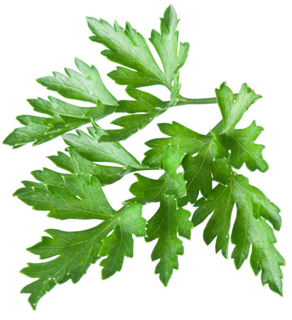 clipping  path: Green parsley isolated on a white. Clipping path.