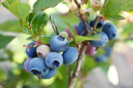 blackberry bush: Blueberries on a shrub. Macro shot.