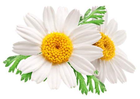 Two beautiful camomiles on white background