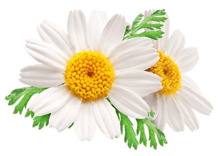 Zwei schöne Kamillen auf weißem Hintergrund Standard-Bild
