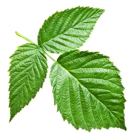 Fresh raspberry leaves Banco de Imagens