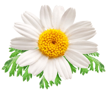objects with clipping paths: Beautiful camomile isolated on white background. File contains clipping paths. Stock Photo