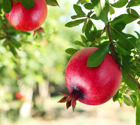 Red ripe pomegranates on the tree. Blurred garden at the background. Stok Fotoğraf