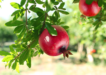 a pomegranate: Red ripe pomegranates on the tree. Blurred garden at the background. Stock Photo