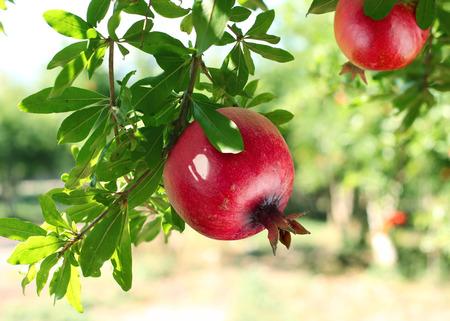 Rote reife Granatäpfel auf dem Baum. Verschwommene Garten im Hintergrund. Standard-Bild - 35572885