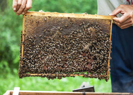 beekeeping: Bee-keeper keeps in hand honeycomb frame with bees on it.