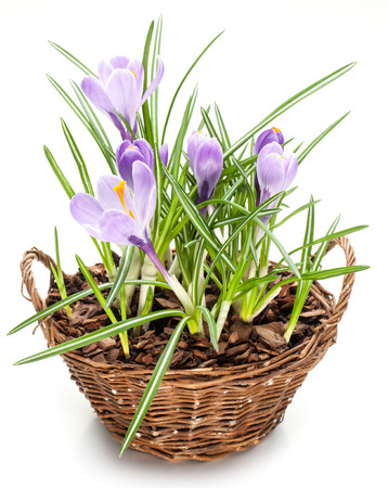 splint: Crocus flowers in the splint basket. On a white background.