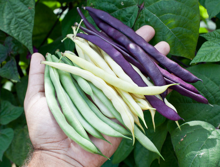 leguminous: Fresh string beans in mans hand.  Green plants on the background. Stock Photo