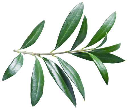 olive green: Olive twig on a white background. File contains clipping paths. Stock Photo