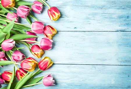 Pink and red tulips on a blue wooden background. Space for text. photo