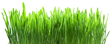 growing plant: Green grass isolated on a white backgroud.