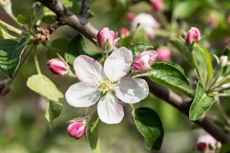 arbol de manzanas: Manzano floreciente rama. Primer disparo.