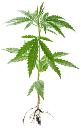 plants species: Wild Cannabis plant. Isolated on a white background.