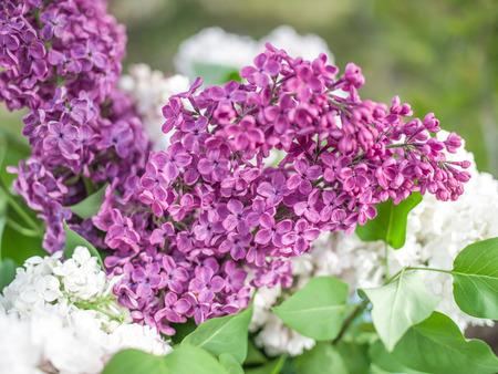 sunny day: Blooming flores de color lila en el jard�n en el d�a soleado.
