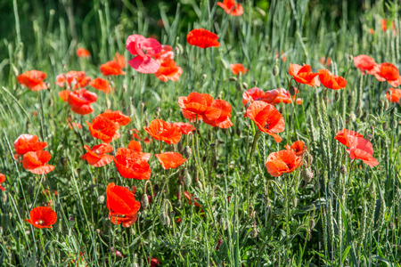 dainty: Field of red dainty poppies. Nature background. Stock Photo