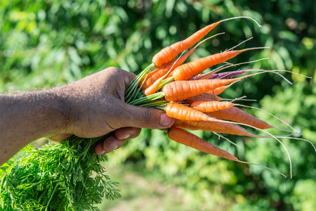 mans: Carrots  in mans hand.