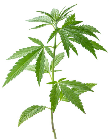 Wild hemp plant. Isolated on a white background. Standard-Bild