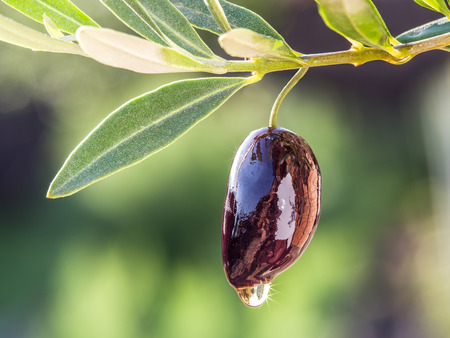 background photo: Olive oil drops from the olive berry. Stock Photo