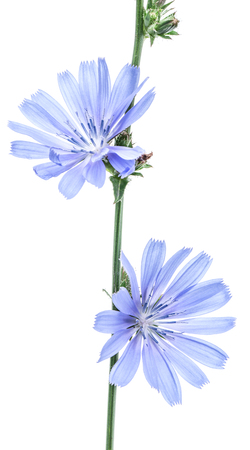 isolated flower: Cichorium intybus - common chicory flowers isolated on the white background. Stock Photo