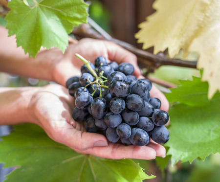 vinery: Purple grape in the hands. Nature on the background.