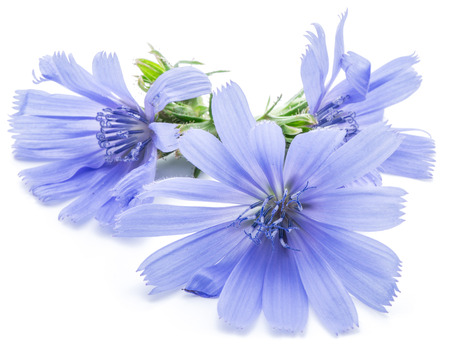 chicory: Cichorium intybus - common chicory flowers isolated on the white background. Stock Photo