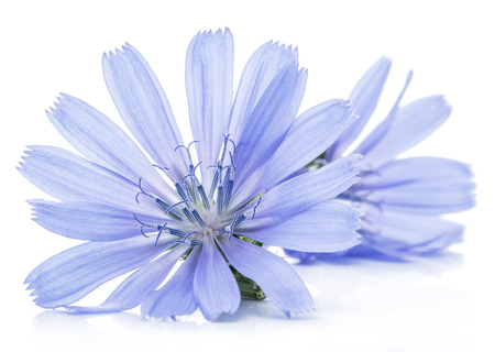 chicory flower: Cichorium intybus - common chicory flowers isolated on the white background. Stock Photo