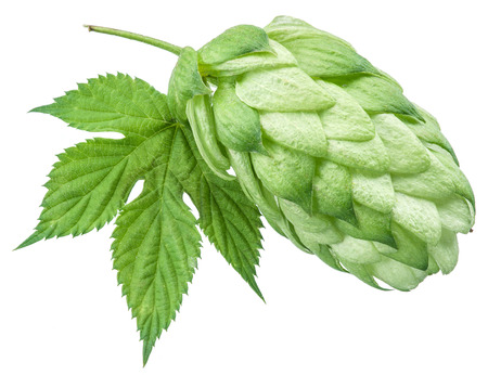 hop cone: Hop cones. Isolated on white background.