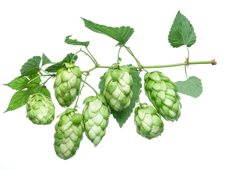 hop cones: Hop cones. Isolated on white background.