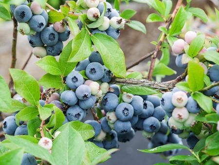 buisson: bleuets mûrs sur la brousse.