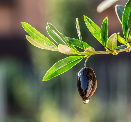 olives: Olive oil drops from the olive berry. Stock Photo