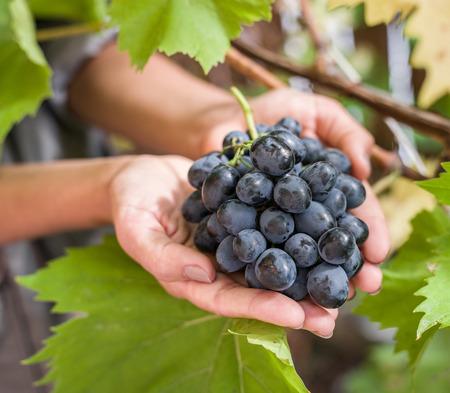 uvas: Uva púrpura en las manos. Naturaleza en el fondo.