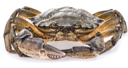 alive: Carcinus maenas -edible alive crab isolated on a white background. Stock Photo