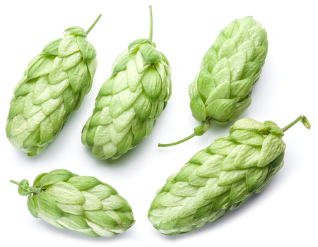 ferment: Hop cones. Isolated on white background.