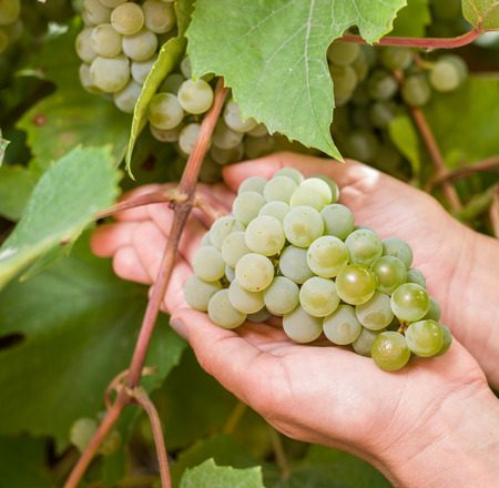 vinery: Bunch of white grapes on the vine. Bunches are upheld with womans hands.