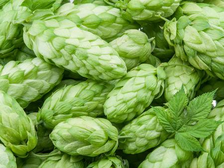 hop cones: Green hop cones -  ingredient in the beer production. Stock Photo