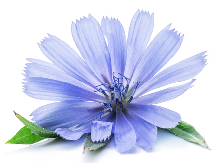 blue flower: Cichorium intybus - common chicory flowers isolated on the white background. Stock Photo