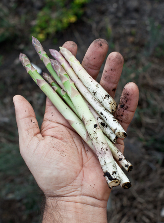mans: Shoots of asparagus in mans hand.