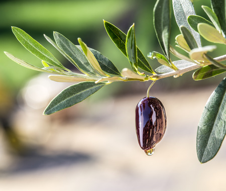 olive green: Olive oil drops from the olive berry. Stock Photo