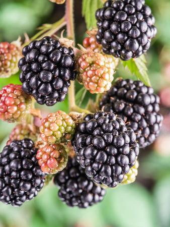 shrub: Blackberries on the shrub in the garden. Closeup shot. Stock Photo
