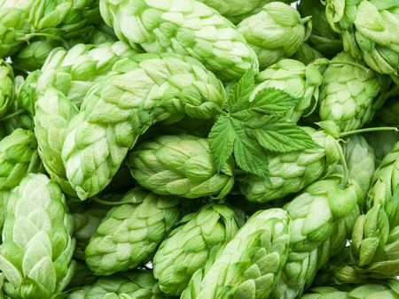 ferment: Green hop cones -  ingredient in the beer production. Stock Photo