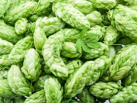 hop hops: Green hop cones -  ingredient in the beer production. Stock Photo