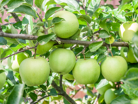 golden apple: Ripe Golden Delicious apples on the tree. Closeup shot. Stock Photo