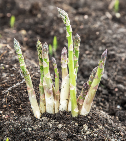 land plant: Shoots of asparagus in the soil. Growing process. Stock Photo