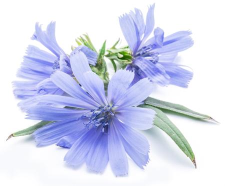 Cichorium intybus - gemeenschappelijke cichorei bloemen geïsoleerd op de witte achtergrond.