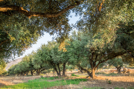italy landscape: Olive trees garden. Long row of trees on the sky background.